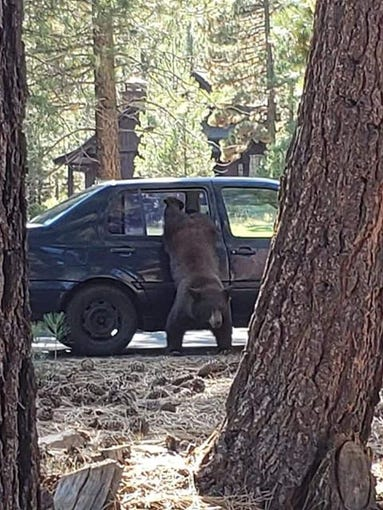 photo gallery of bear breaking into a car in search of food