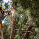 featured image showing a homeowner trimming a pine tree with a chainsaw