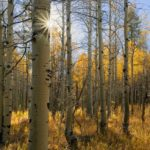 featured image showing a grove of aspen trees beginning to turn on a beautiful autumn day