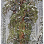 featured image showing a 3200 year old giant sequoia called the President